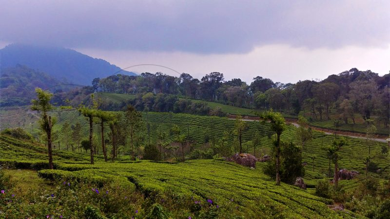 munnar-valley-green